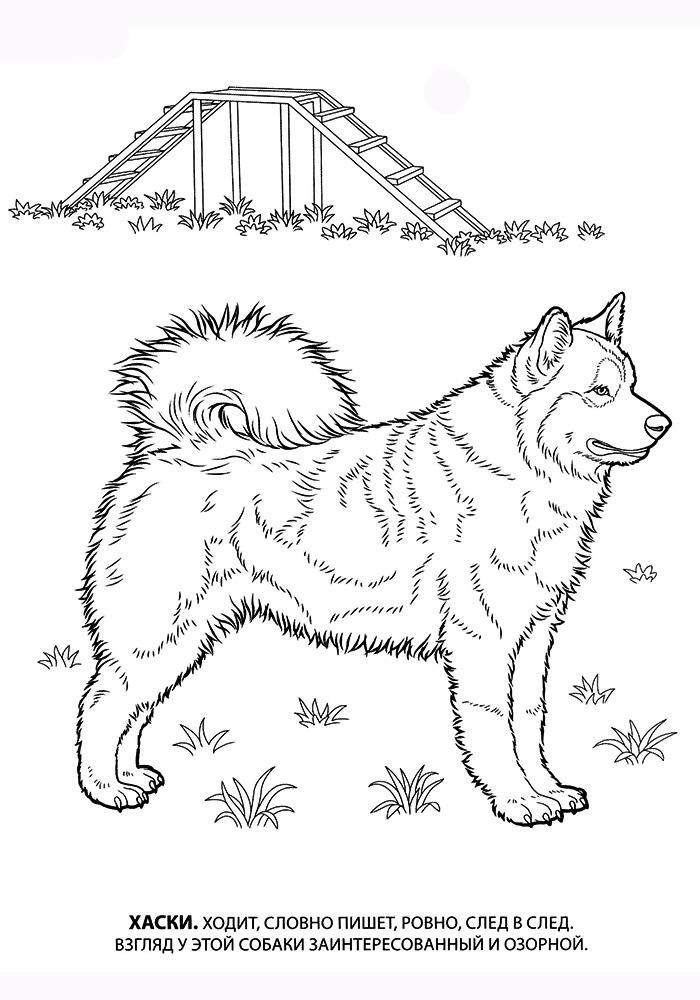 Раскраски собаки хаски распечатать