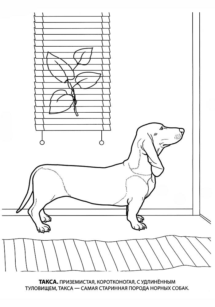 Раскраска такса собака