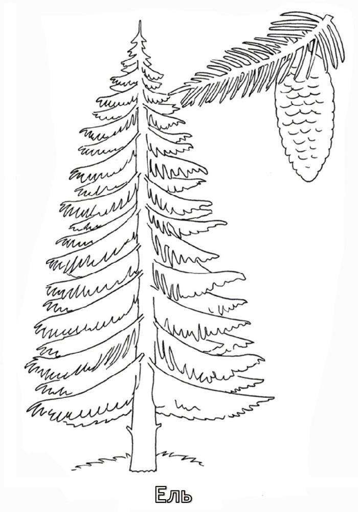 раскраска сосна дерево