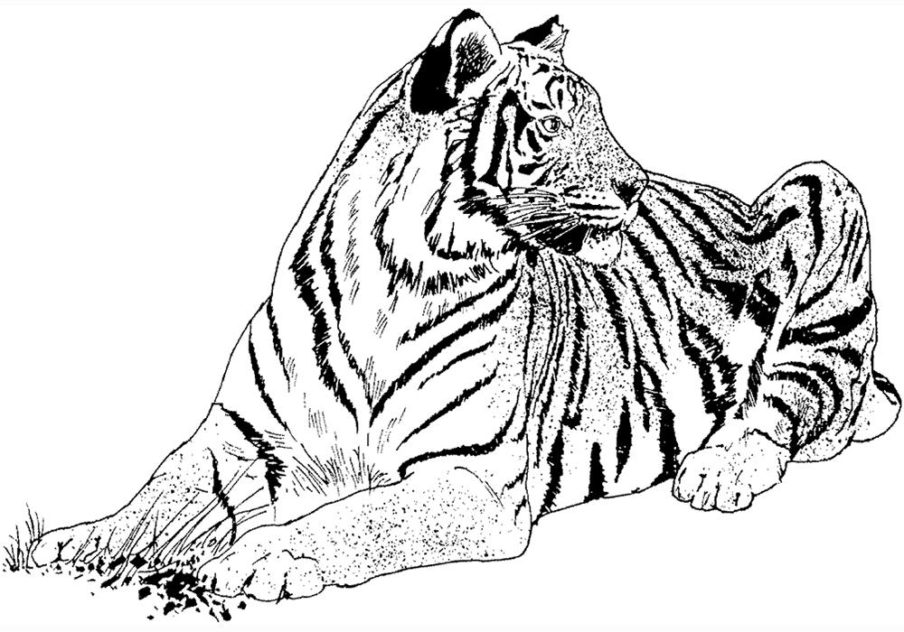 амурский тигр раскраска с описанием мое