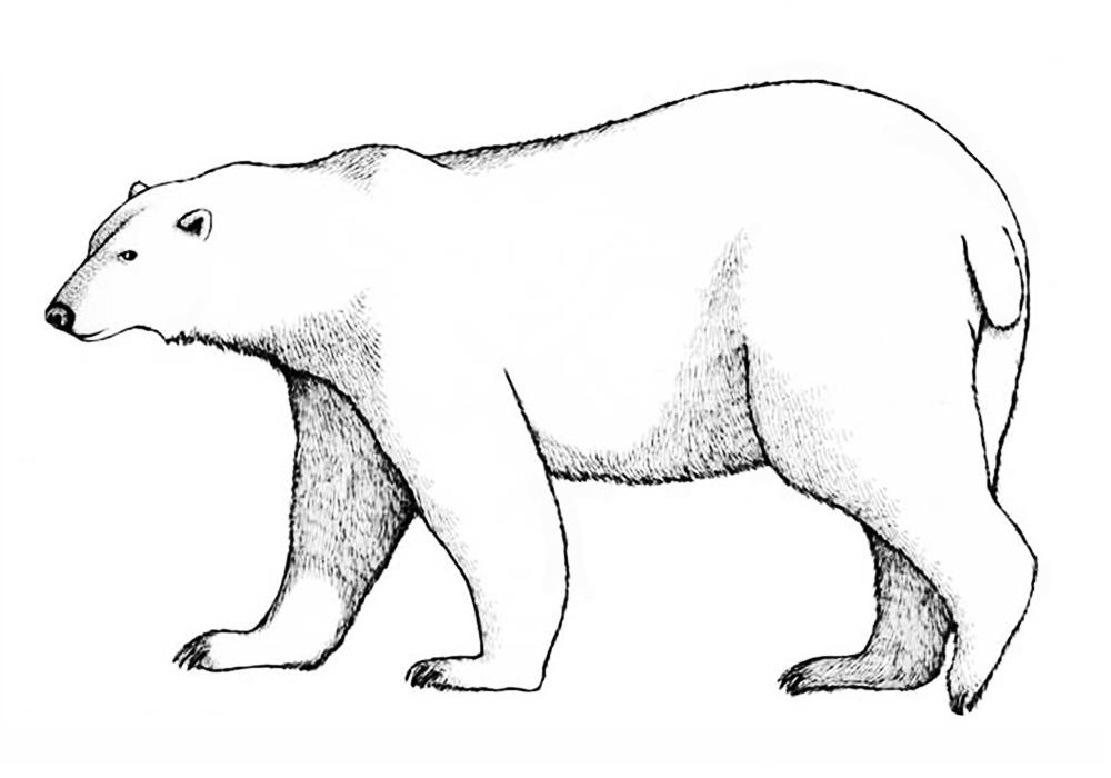 Картинка белого медвежонка нарисовать