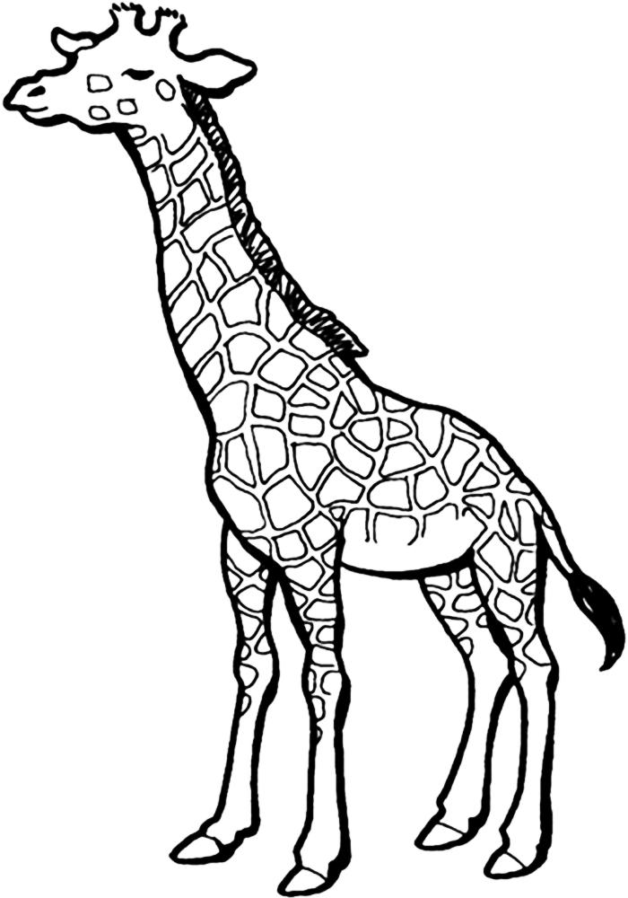 Жираф для раскрашивания