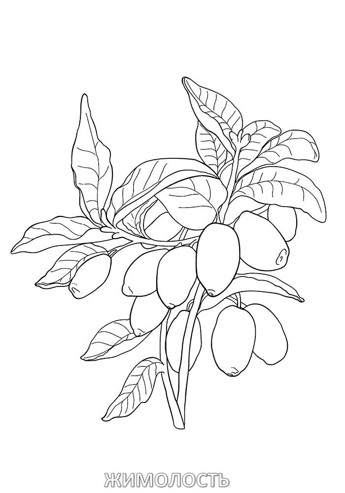 картинка волчья ягода карандашом