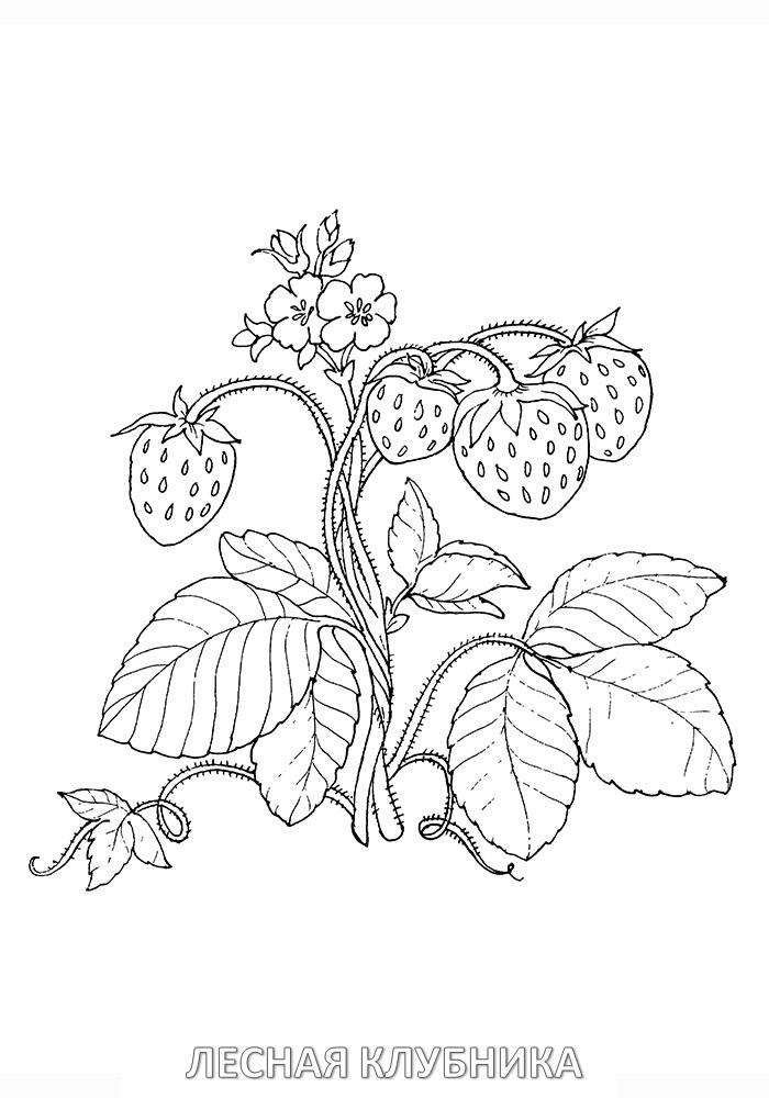 Раскраска ягода клубника